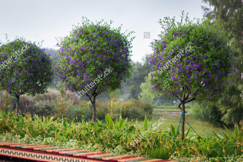Stock photo round shape trees with purple flowers 322161812 stock photo round shape trees with purple flowers 322161812 mightylinksfo